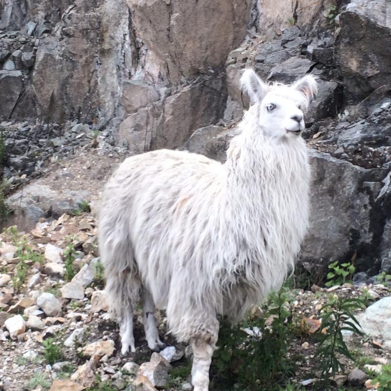 Photograph of Alpaca