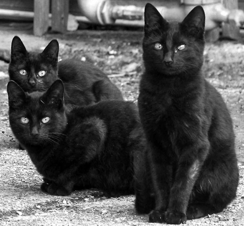 Retouched Photo of Black Cats